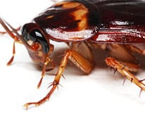 Pest ID image of cockroach